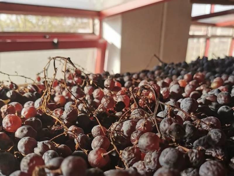 uva per l'amarone in appassimento della cantina mizzon